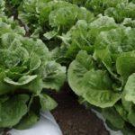 ワタミ、グループ農場産の有機ロメインレタスを活用した新メニューを導入