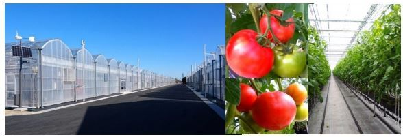 イオンアグリ創造、植物工場による次世代施設園芸埼玉拠点から大玉トマトが本格出荷