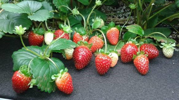 日本アドバンストアグリ、北米最大級の農業・園芸展示会に出展