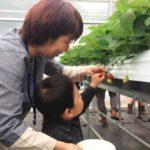 六甲山カンツリーハウス、冷涼気候を生かし、夏イチゴの収穫体験