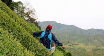 「五感でお茶を堪能」宇治茶畑へのハイキングツアーを茶農家が開催