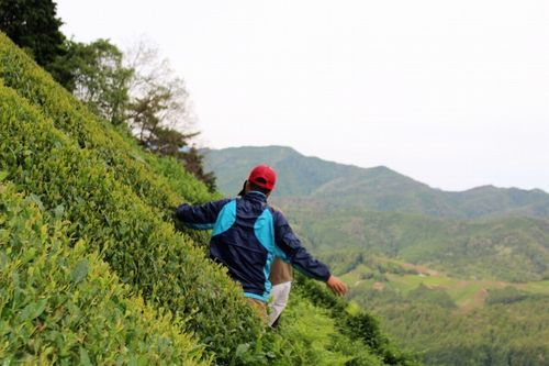 「五感でお茶を堪能」 宇治茶畑へのハイキングツアーを茶農家が開催