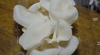 有機認証キノコ「ハルカインターナショナル」自社種菌から独自開発した白キクラゲの量産化に成功