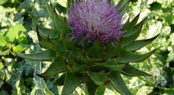 欧州のメディカルハーブ「マリアアザミ」の国内栽培を本格スタート