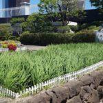 東急百貨店・本店屋上に設置した水田で稲刈り・食育教室も実施
