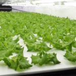 バイテックHD、2カ所目の植物工場が本格稼働。1日1万7千株の国内最大級の施設へ