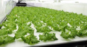 バイテックの植物工場野菜、セブンイレブンの首都圏・九州エリアのサラダ商品に一部採用