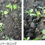 ノウカス、日本では栽培事例が少ないセリ科の根菜「パースニップ」を本格栽培