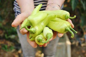 韓国による植物工場産「生でも食べらる機能性・唐辛子」が日本で販売開始