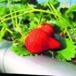 ファインシードと難波ファーム、イチゴ栽培の新会社を共同設立