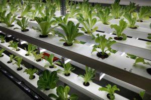 農業・ベジタリアン大国インド、植物工場ベンチャーが事業拡大へ