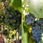 ニューヨーク酸ワイン「1本10万円」ブドウの屋上ファームが本格稼働