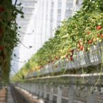 カナダの植物工場ビジネス。生き残りをかけて「イチゴ」高付加価値化へ