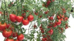 オーガニックソイルと三菱地所が新会社設立。植物工場による高糖度ミニトマトの周年生産へ