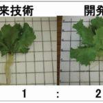 徳島文理大、植物工場によるレタスの収量2倍になる栽培法を確立