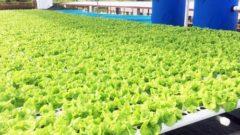 幅広い目的・場所で有機栽培が可能な「アクアポニックス」の可能性