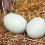 豊田通商、鶏卵業界大手のイセ食品に出資。国内養鶏シェア25%を目指す