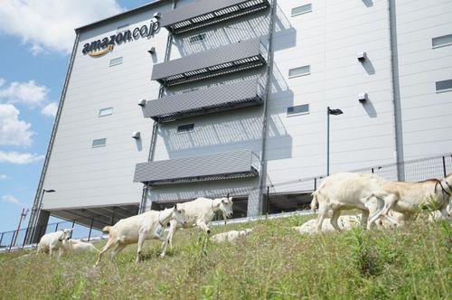 Amazon、多治見FCでヤギによる「エコ除草」を実施。6年目の今年は初参加する7頭の子ヤギも