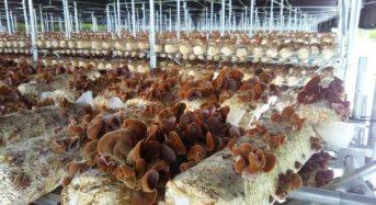菌床キクラゲ生産委託企業の募集を開始、企業農園の開設へ