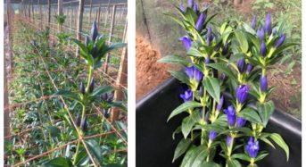 みずほ情報総研など、ルワンダにて商用生産したリンドウを世界最大のオランダ花市場へ出荷開始