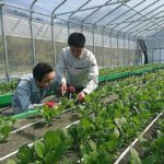 日建リース工業、砂栽培システムを導入した農福連携ファームを開設