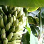 福島県でも国産・完全無農薬バナナ生産へ、観光の目玉商品として復興支援
