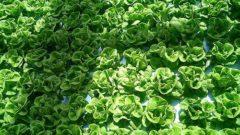 JAしまね、県内最大級の植物工場にてリーフレタスの生産へ