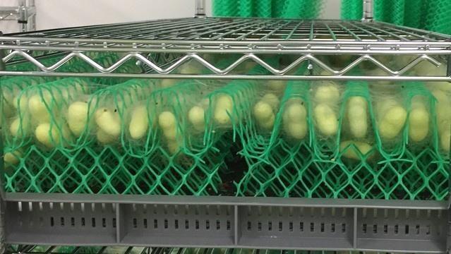 きものブレイン、工場生産による「みどり繭」成分からコスメ商品などを開発