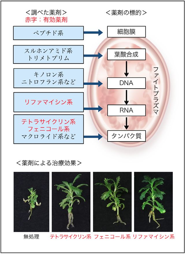 東大、植物と病原体を共培養する新たなスクリーニング法による「ファイトプラズマ病」治療薬を発見
