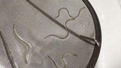山田水産、人工ウナギの実用化に向け稚魚の養殖実験を開始
