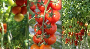 """ミレニアム・パシフィック社、オランダ最新技術を導入した""""トマト植物工場""""をカリフォルニア州に建設"""