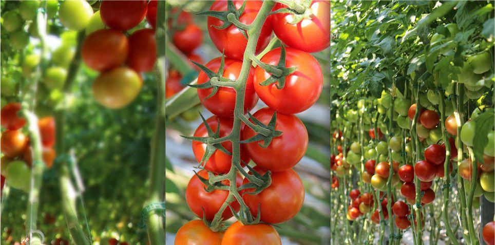 """ミレニアム・パシフィック社、オランダ最新技術を導入した""""トマト植物工場""""を建設"""