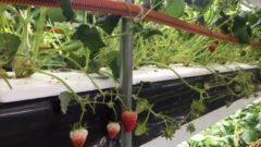 沖縄セルラー電話による人工光型植物工場によるイチゴ生産・本格出荷へ