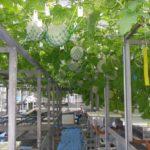 独自の養液栽培技術「まちだシルクメロン」新規参入者に対して初の技術ライセンスへ