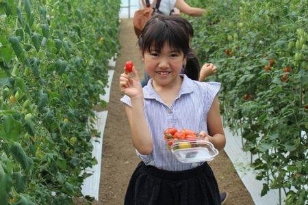 JAF宮城、夏休み企画のミニトマト収穫体験を開催