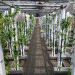 グリーンリバー、縦型水耕ファームにて日本最大級のバジル生産植物工場を稼働