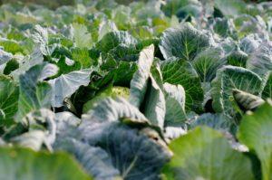 ホーチミン市・個人農家の組合化にて所得向上へ。ベトナム版GAPも1,500戸の農家が取得