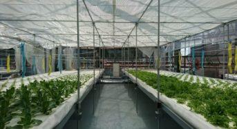ヤンマー、水耕レタス施設にて国内農機メーカーとして初の「GLOBAL G.A.P.」認証を取得