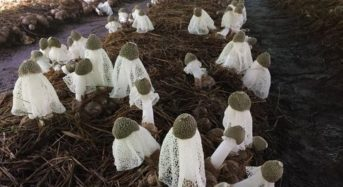 ハルカインターナショナル、キヌガサタケの商用人工栽培に成功
