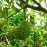 沖縄県で初、海洋博公園 熱帯ドリームセンターで「ドリアン」が初結実