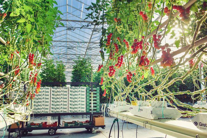 マイティ・バイン社、イリノイ州にて最大の植物工場トマト生産者へ