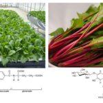 三菱ケミカルと京都大学、植物工場・環境制御による葉酸&ベタシアニンが豊富な機能性ホウレンソウを開発