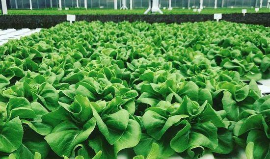 米国Living Greens社、国内最大級の噴霧・垂直式の植物工場を来年に稼働
