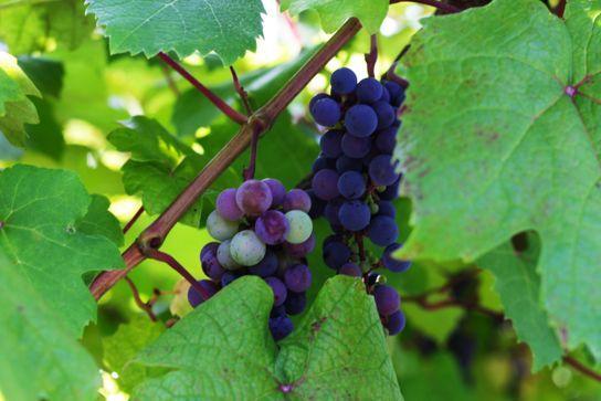 ワイン特区を活用、山口県初の周防大島ワイナリー。12月に初出荷予定