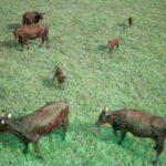 トライポッドワークス、ドローンや映像認識AIを活用。畜産の頭数管理も簡単に