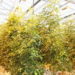 ポーランドPolcotton社、カザフスタンの植物工場に約17億円を投資