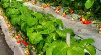 谷常製菓、自社農園による完熟イチゴを利用した限定クリスマスケーキを販売