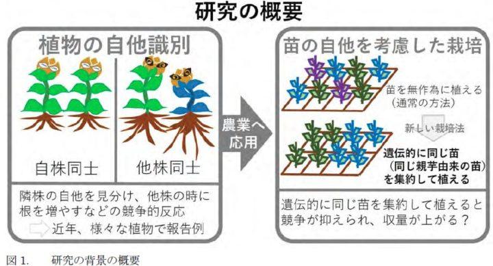 東大、植物の自他識別能力を応用した栽培法をキクイモで実証。苗の並べ方でイモの収量が変わる