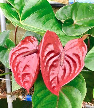 ミス・グランド・ジャパンの公式フラワーにも採用「アンスリム」の本格栽培が福島県・川俣町でスタート
