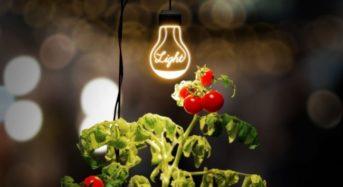 """太陽がなくてもトマト収穫、デザイン性の高い植物栽培ライト""""ルーチェ""""が新発売"""